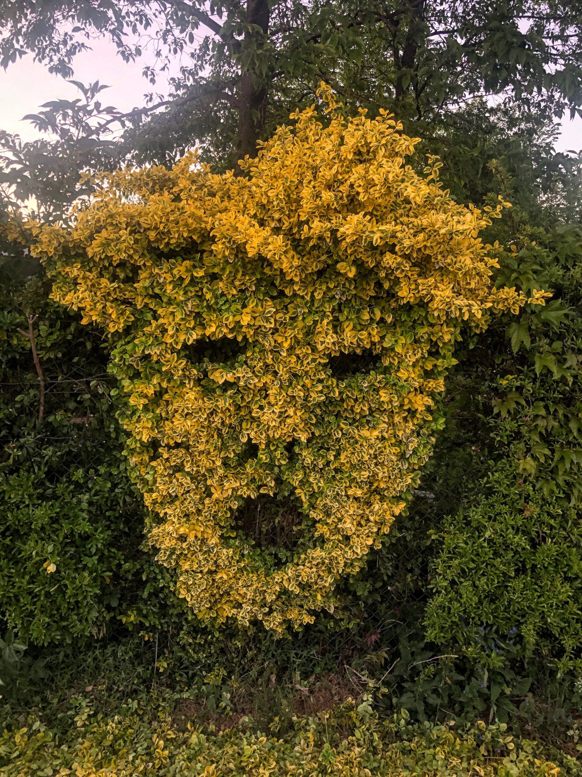 Yellow Boy – Bush/Trump